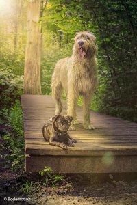 Bodemotion - Mops und irischer Wolfshund